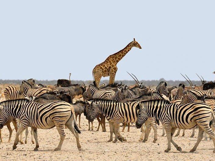 Afrikas Tierwelt im Etoscha Nationalpark.