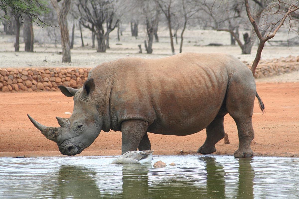 Nashorn an der Wasserstelle.
