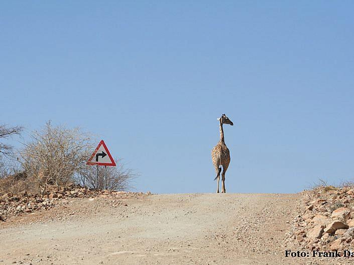 Giraffe orientiert sich am Straßenschild.