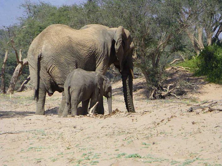 Mutter und Kind. Wüstenelefanten im Hoanib Rivier.