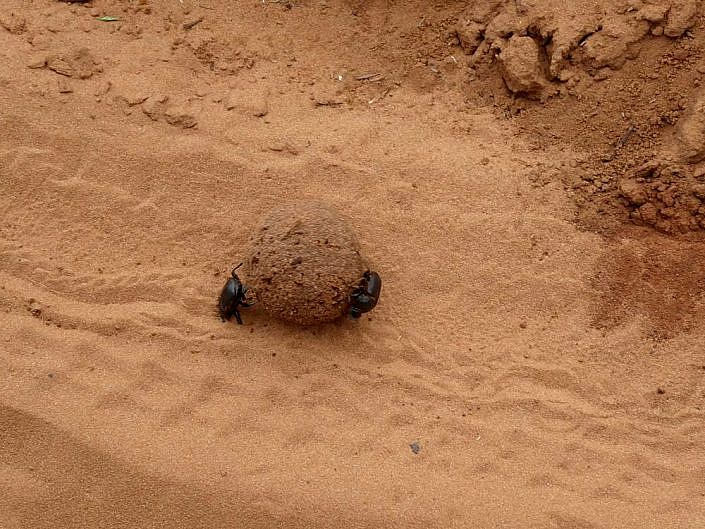 Skarabäus bei der Arbeit. Chobe Nationalpark.