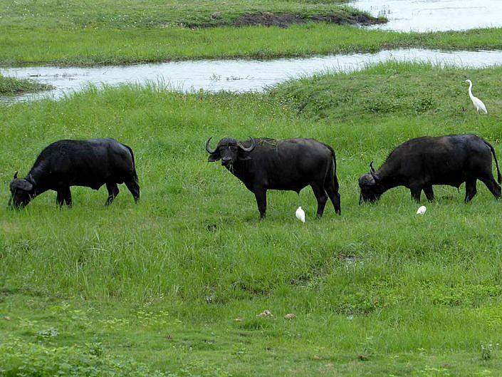 Büffel im Chobe Botswana.