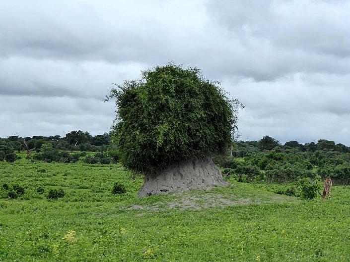 Termitenhügel mit Baumbewuchs. Chobe Nationalpark.