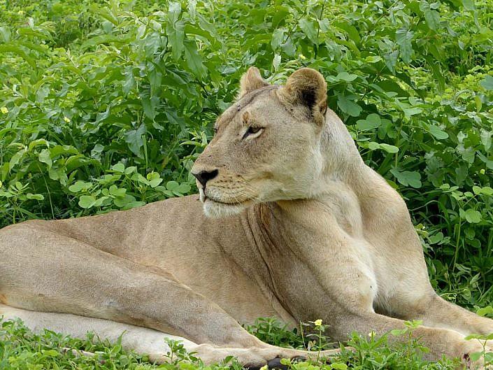 Löwen im Chobe Nationalpark. Botswana.