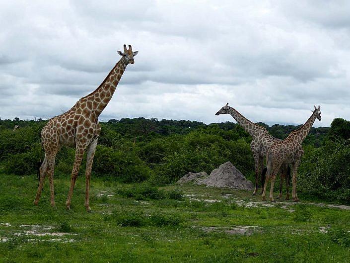 Wunderschöne Giraffen in Botswana.
