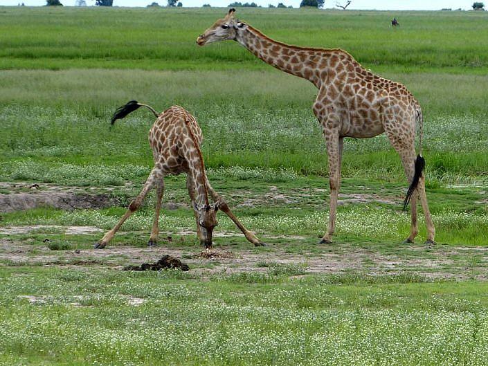 Giraffen an der Wasserstelle. Botswana.