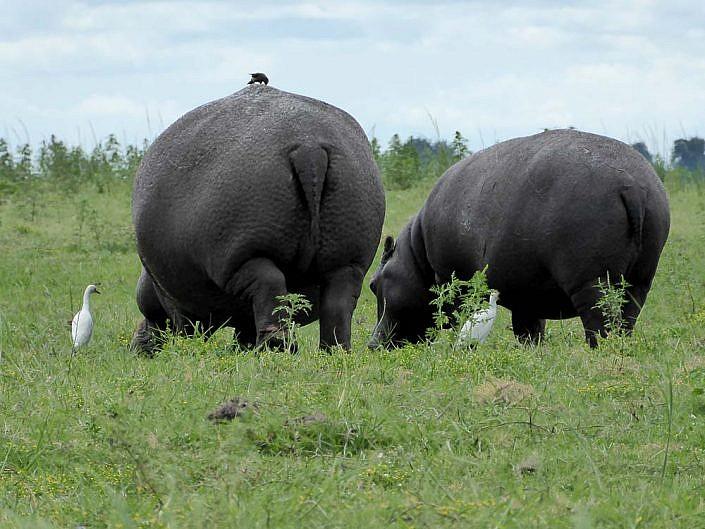 Nilpferde mit Seidenreiher