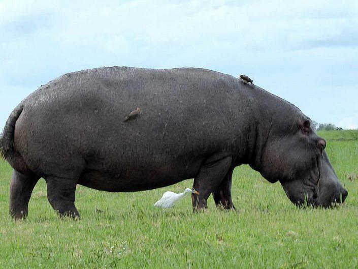 Nilpferd mit Seidenreiher. Chobe Botswana.