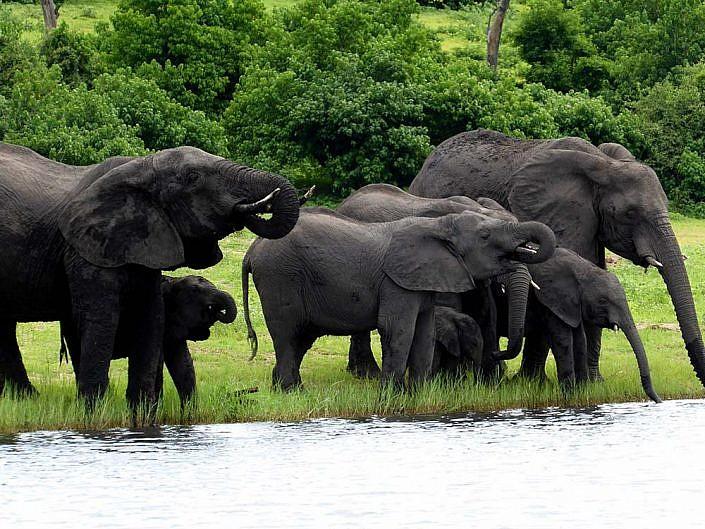Elefanten am Chobe. Durststillen.