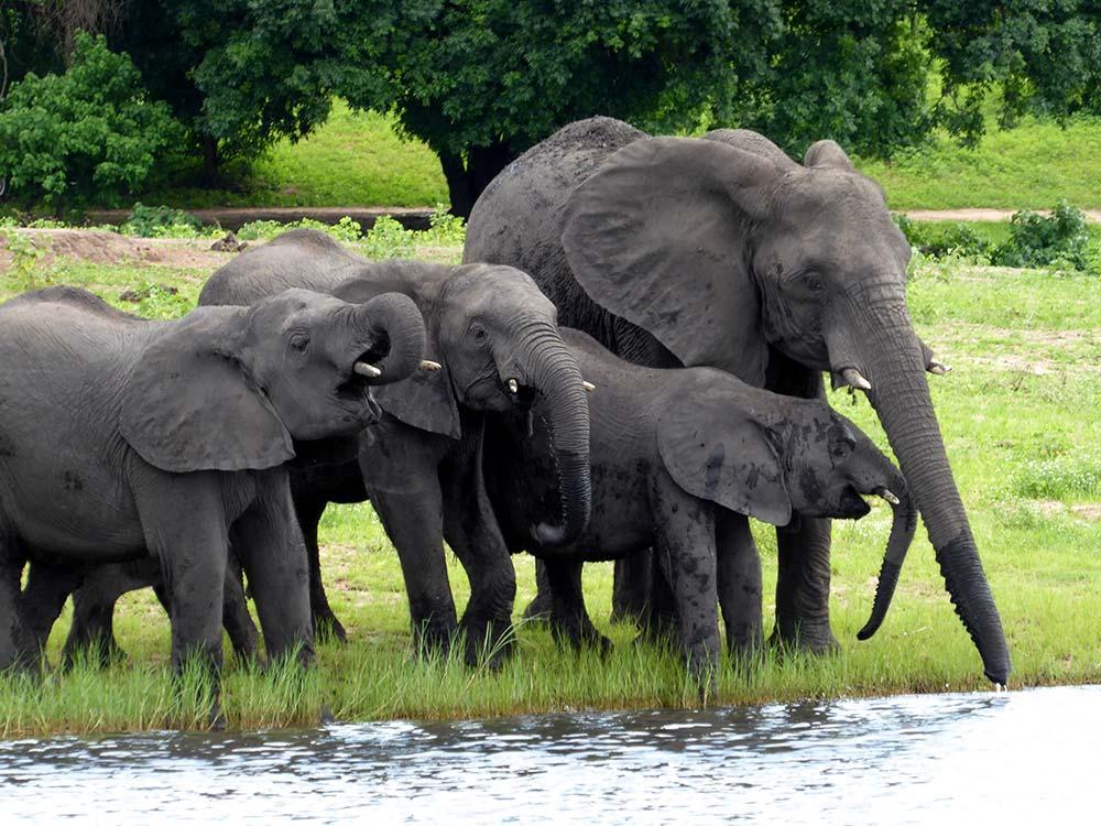 Elefanten im Chobe Nationalpark. Botswana.