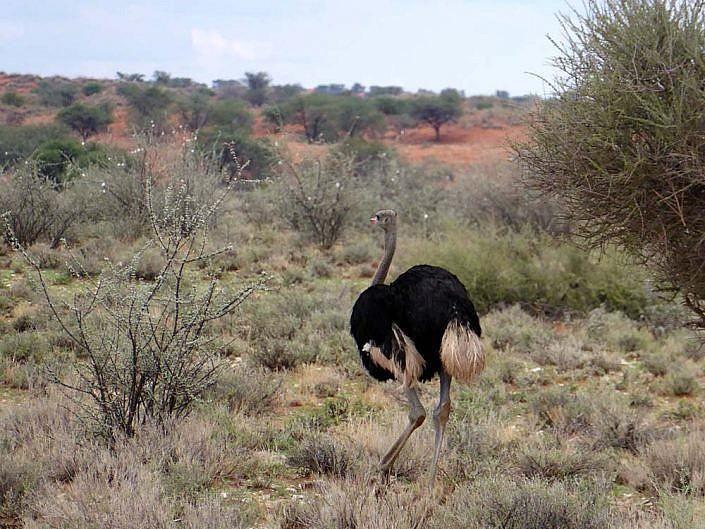 Strauß in der Kalahari.