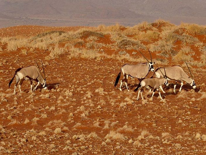 Oryx Antilopen in der Namib Wüste.