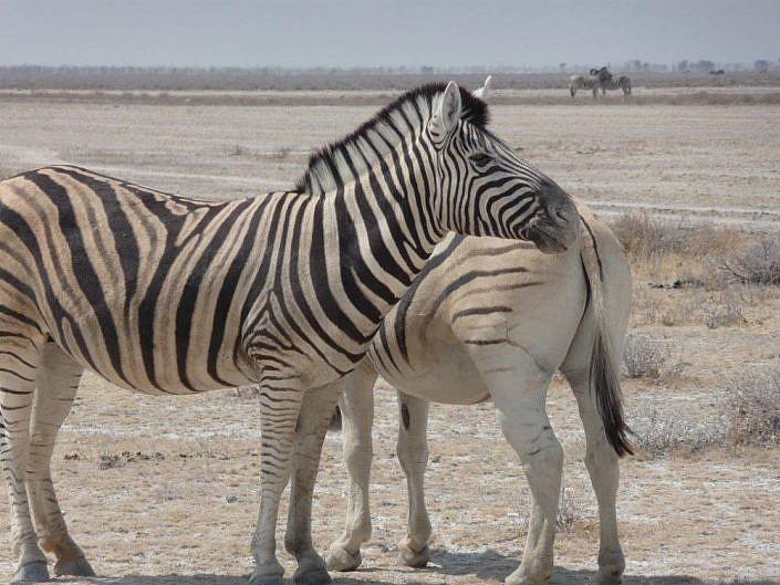 Etosha im September. Zebras. Namibia