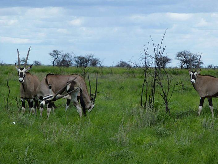 Oryxantilopen. Etosha Park