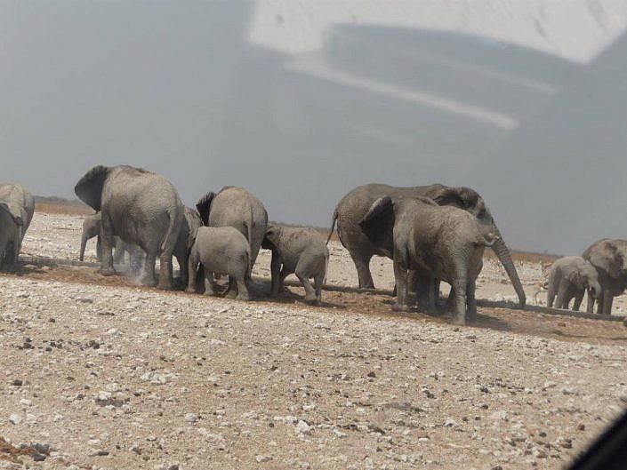 Elefantenherde auf dem Weg zur Wasserstelle. Etosha Park.