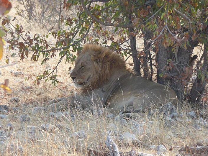 Löwen in Etosha.