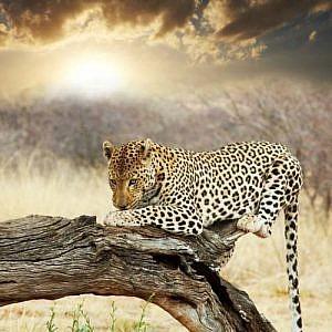 leopard-namibia